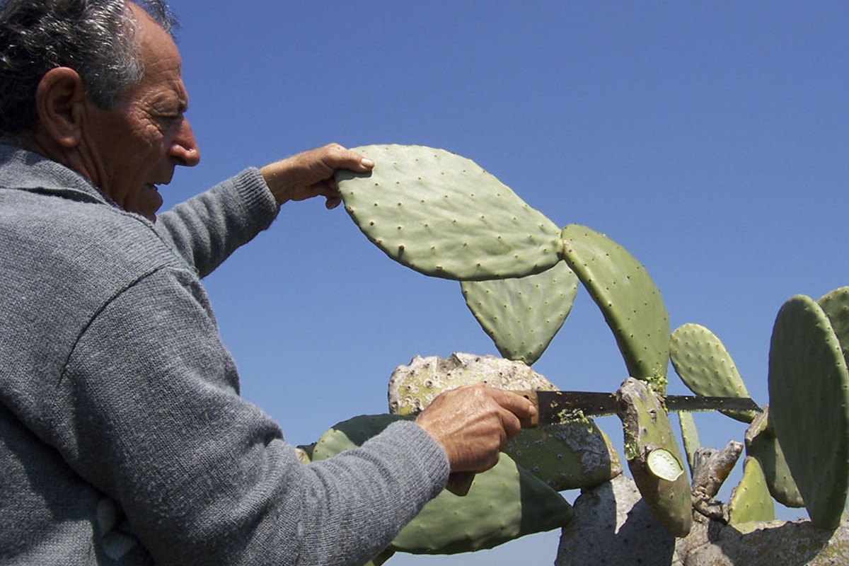 prickyl-pear-cactus-plant